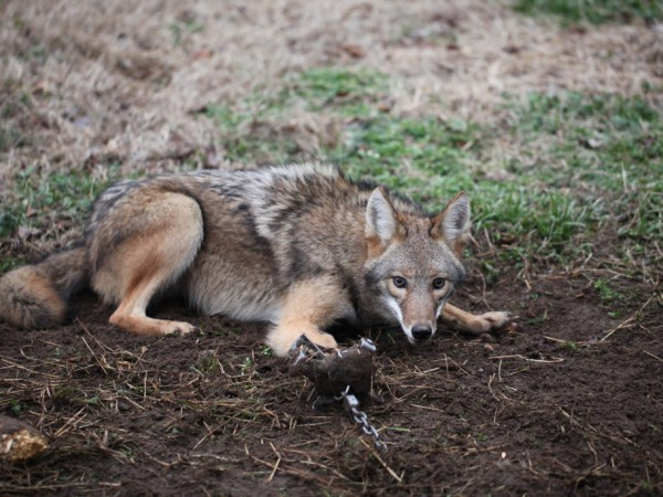 Coyotes in your Backyard: Ghosts of the Cities ...