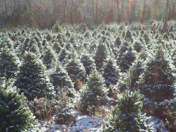 Where Does Your Christmas Tree Comes From Tewksbury Ma