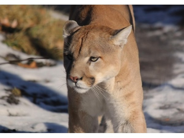 cougar sighting reported in bucks county newtown pa patch. Black Bedroom Furniture Sets. Home Design Ideas