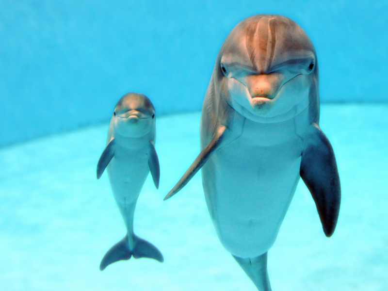 Dolphin Calves Born at Brookfield Zoo Are Doing Well ...