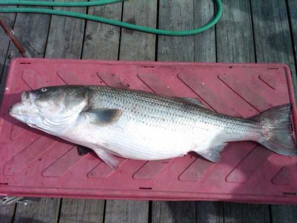Fishermen arrested for illegal striped bass fishing east for Ri saltwater fishing regulations