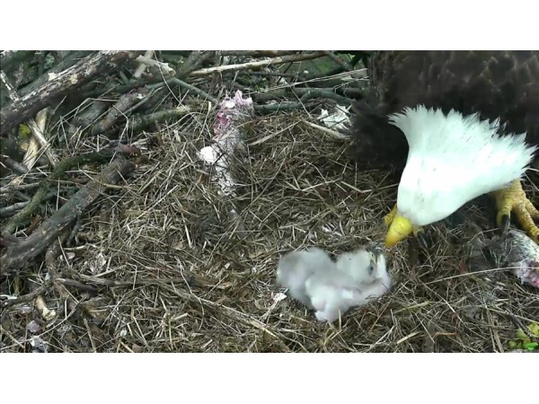 [Watch Live] Washington D.C. Bald Eagle Cam: 2 Eaglets - A ...