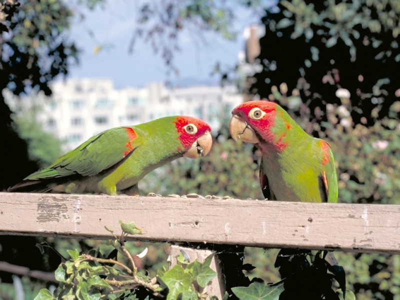 Soooooo. What's Up With All the Parrots in Pasadena?