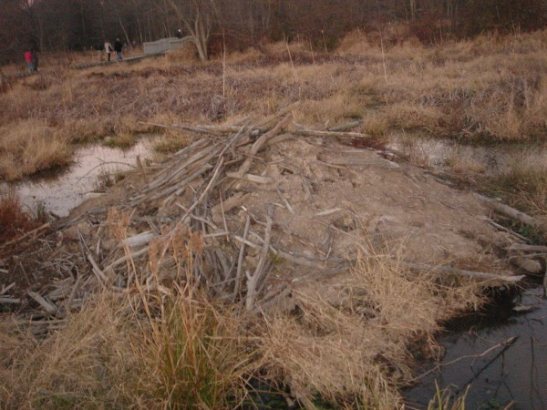 Beavers make their home in fairfax county fairfax for Cost to build a house in northern virginia