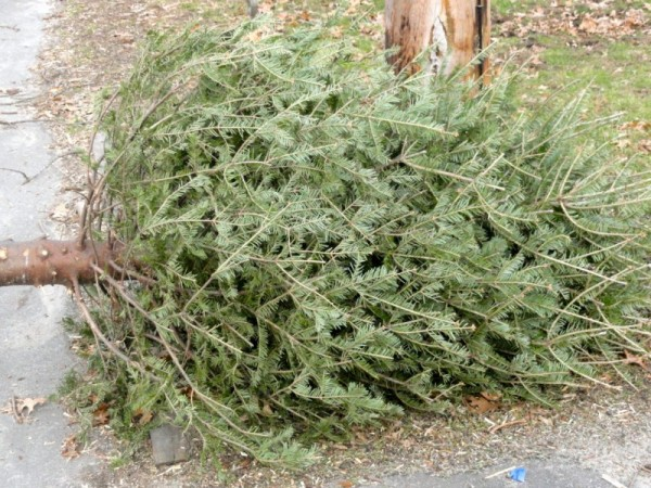 Christmas Tree Recycling Gloucester : How do you dispose of your christmas tree in moorestown
