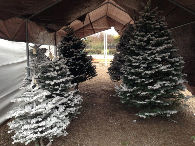 ... Where To Buy A Christmas Tree In Concord 0 ...