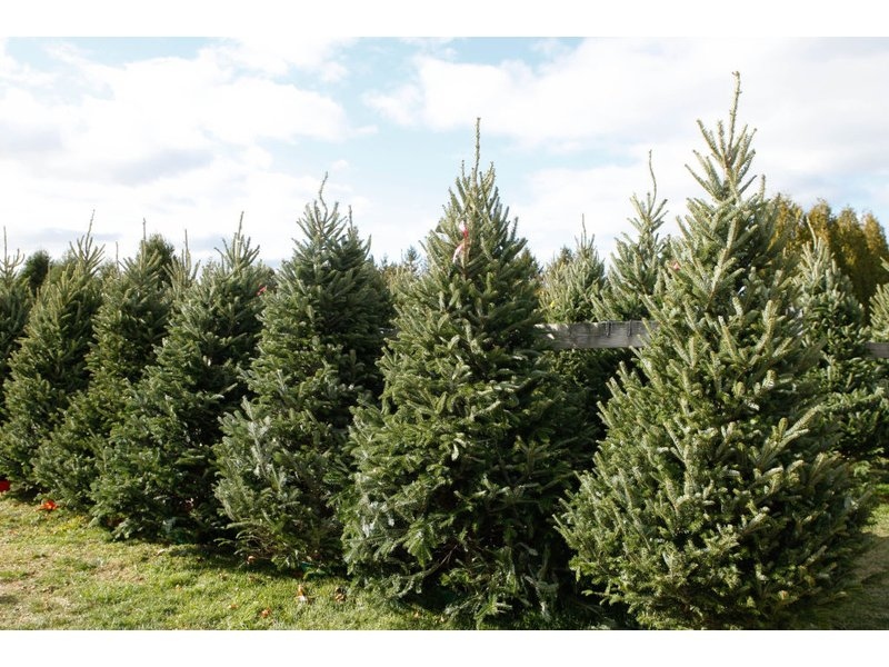 Get Your Christmas Tree Locally: Forsyth Christmas Tree