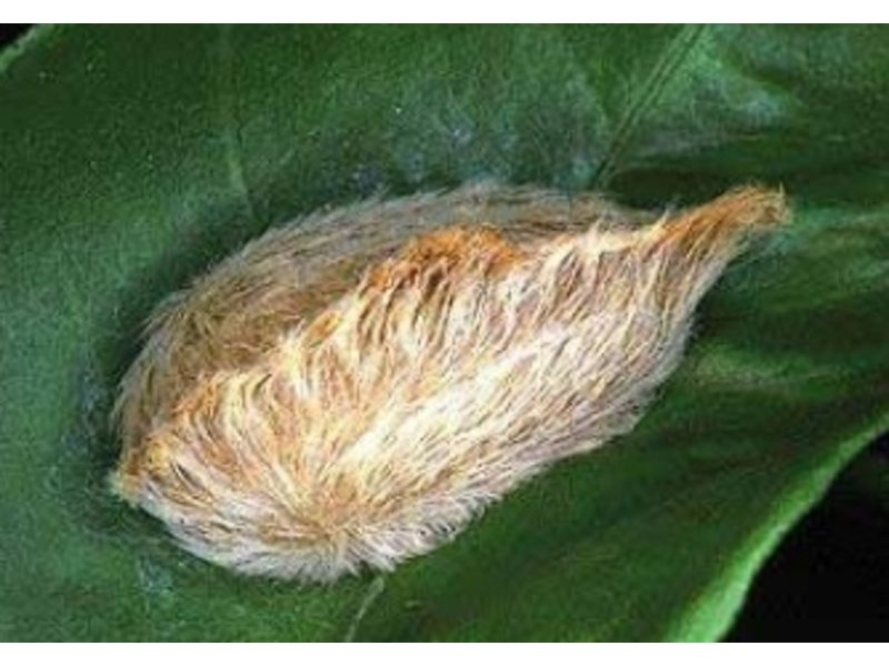 Floridas Puss Caterpillars Pack A Venomous Punch Sarasota Fl Patch