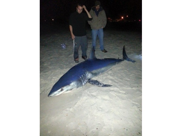 Massive mako shark hooked in florida waters clearwater for Florida shark fishing charters