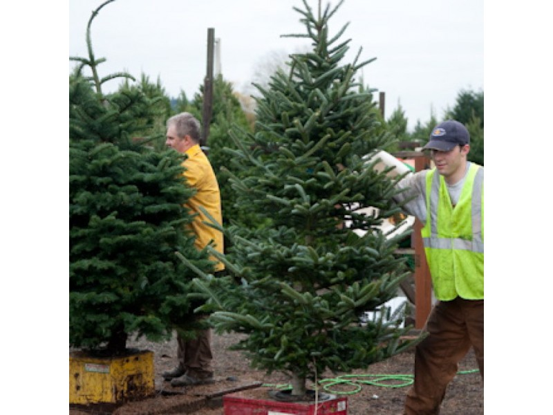 Where Can You Buy A Real Christmas Tree Around Troy?