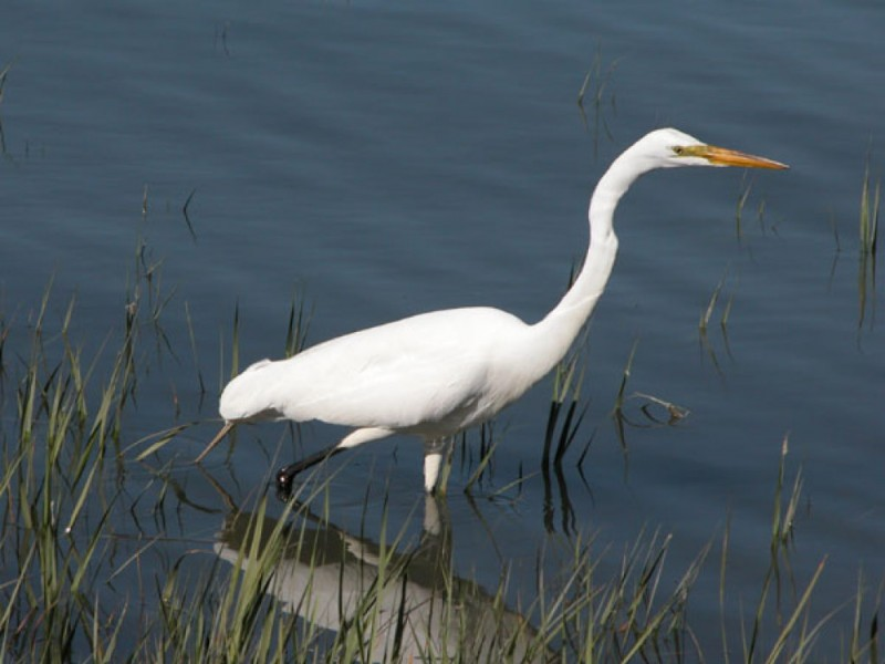 The Graceful Beauty Of Egrets And Herons Mill Valley Ca Patch