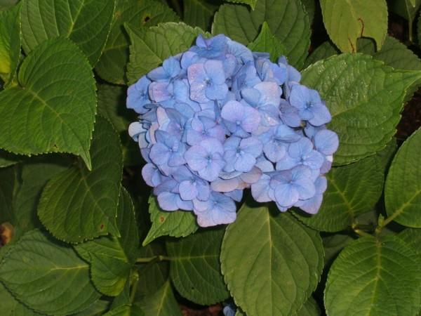 how and when to prune hydrangeas - When To Trim Hydrangea