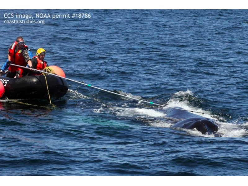 Rescuers free tangled humpback off massachusetts coast marblehead rescuers free tangled humpback off massachusetts coast voltagebd Gallery