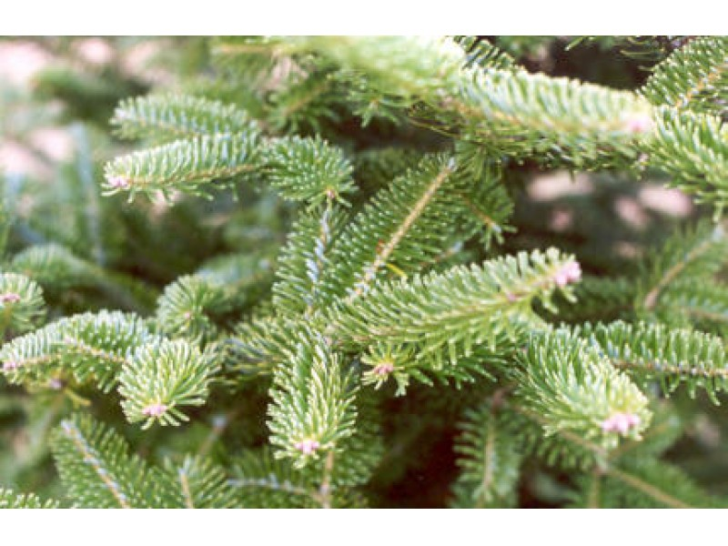 st vincent ferrer holy name societys annual christmas tree sale naugatuck ct patch