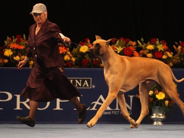 Westminster Dog Show Great Dane Winner