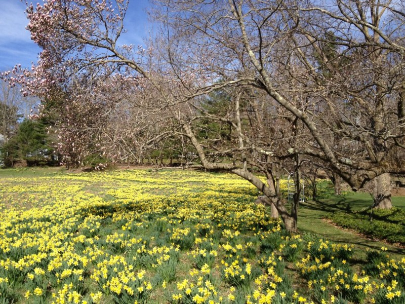 Image result for patch of daffodils