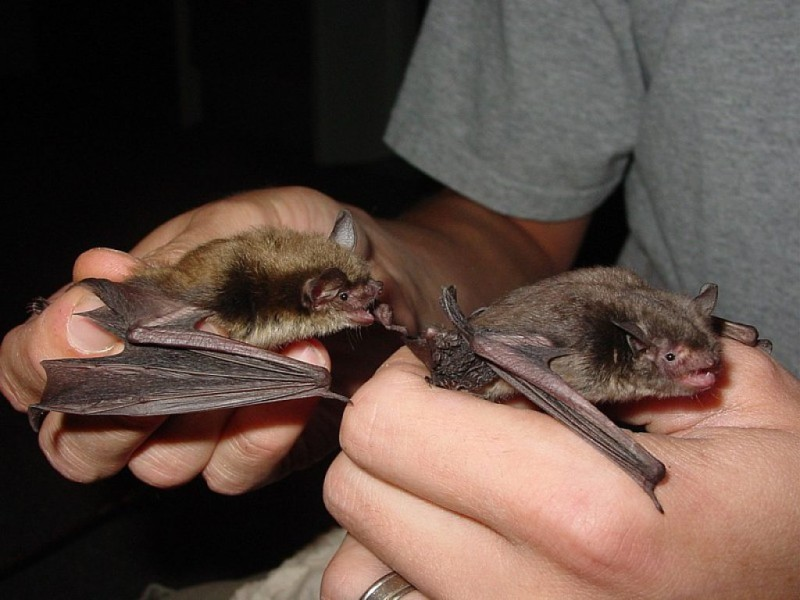 5 Interesting Facts About The Indiana Bat Twinsburg Oh
