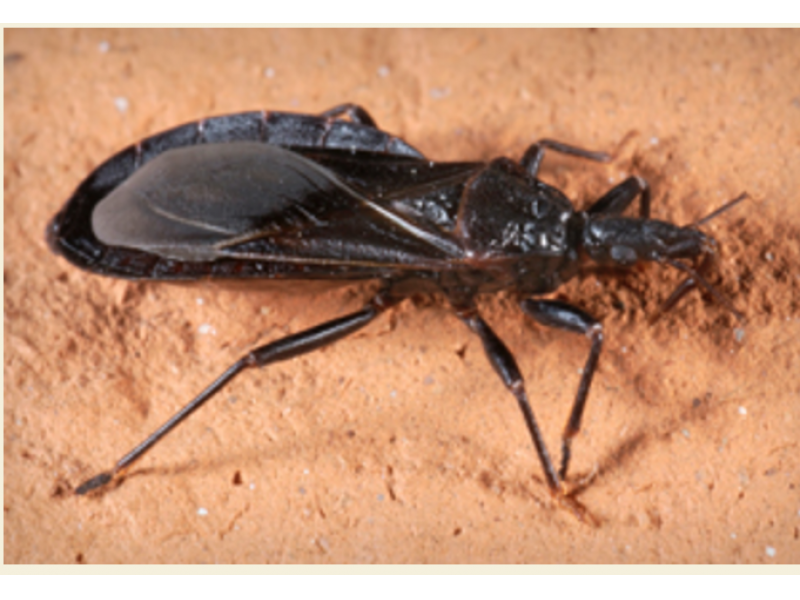 Deadly Kissing Bugs  Located In Pennsylvania   Bensalem  PA Patch. Deadly Kissing Bugs  Located In Pennsylvania   Bensalem  PA Patch
