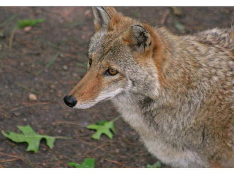 coyote sightings on the rise in suburban philadelphia. Black Bedroom Furniture Sets. Home Design Ideas