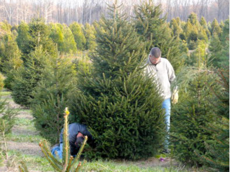 Where Are The Christmas Tree Farms? Here's A List