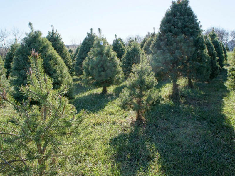 How to Pick the Right Christmas Tree; Where Near New ...