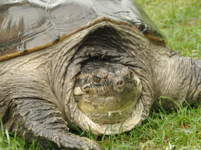 snapping turtle season sparks safety concerns westhampton ny patch