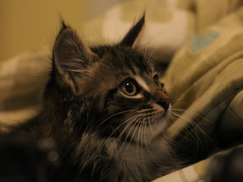 Gwinnett Animal Shelter Cats