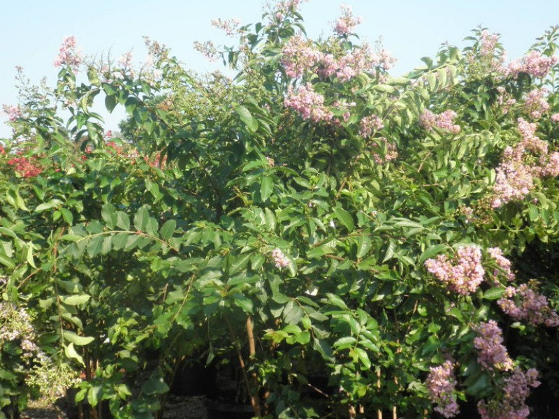 Homestead Gardens to Host its Annual Crapemyrtle Festival July 15-18 ...