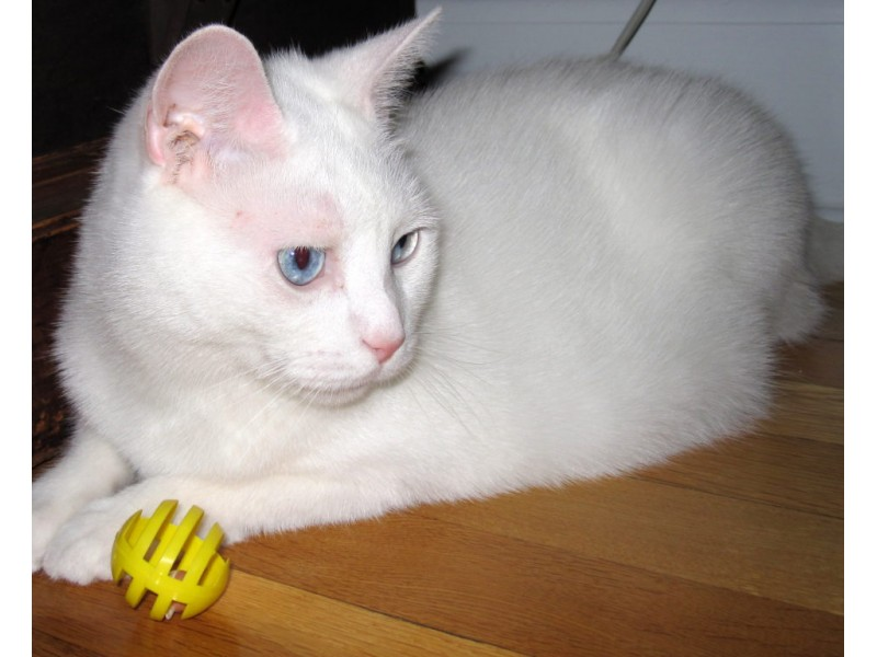 Adopt Billy An All White Cat With Blue Eyes
