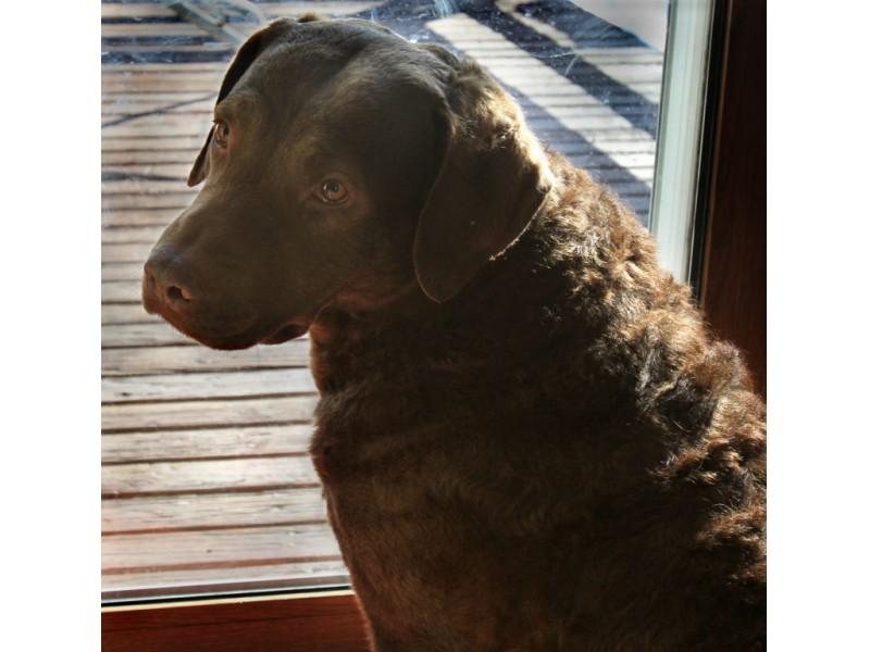 National Dog Show Nova Scotia Duck Tolling Retriever