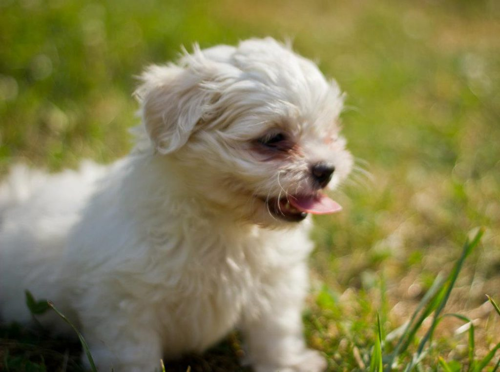 Shih Tzu Puppies Available For Adoption Lakewood Oh Patch