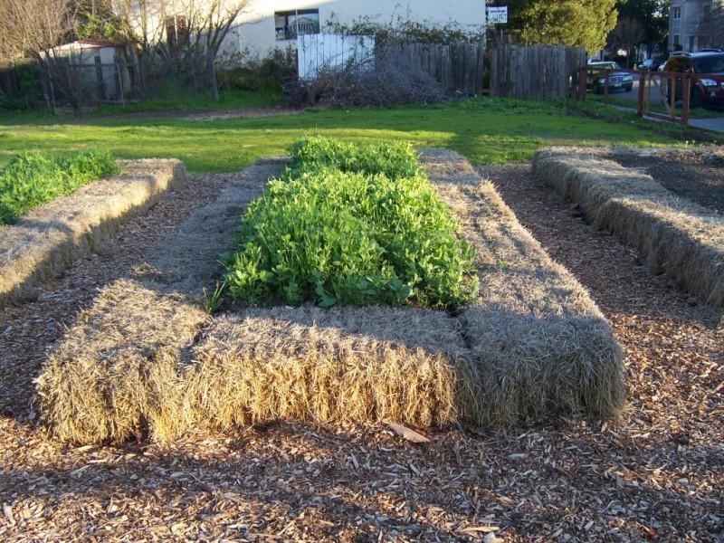 A Cover Crop For The Edible Garden Benicia Ca Patch