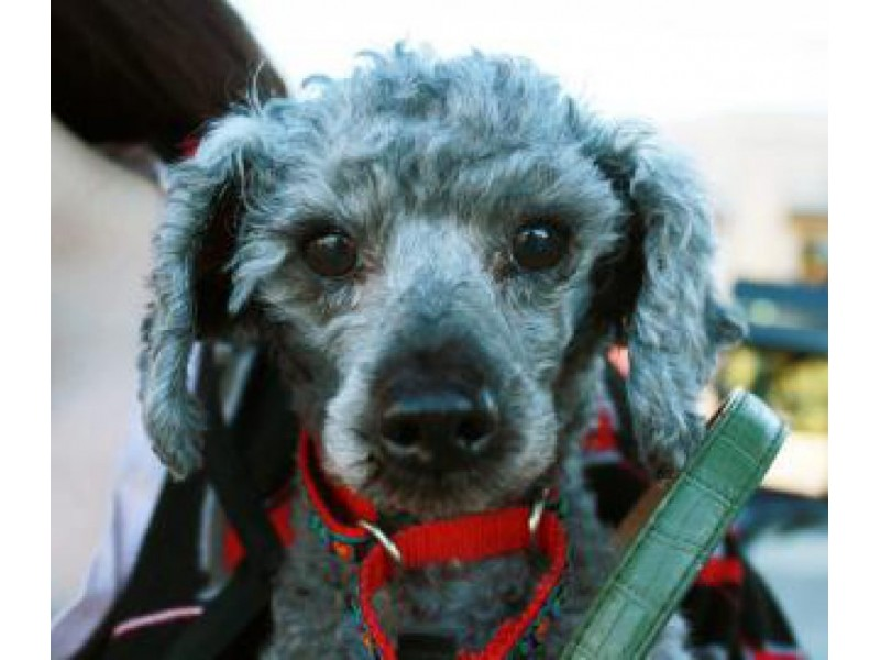 Adopt This Pet Norah The Miniature Poodle Sammamish Wa Patch