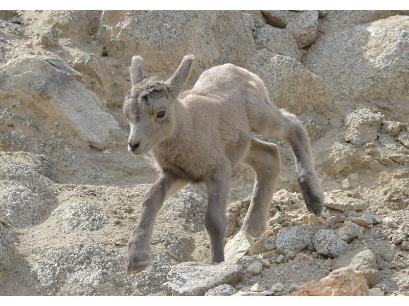 Photos Cute Baby Bighorn Sheep Is Living Desert S Newest