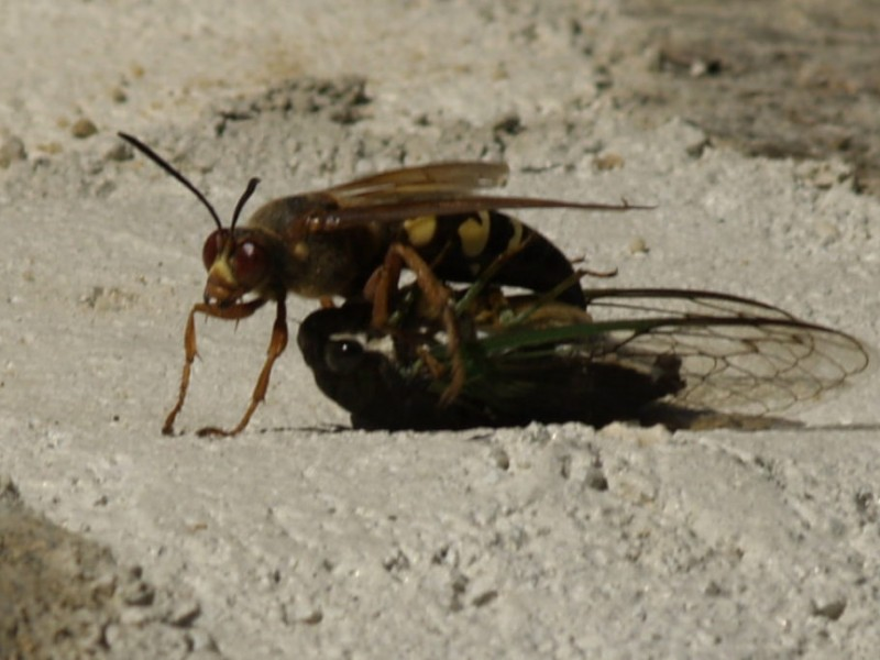 cicada killer wasps gentle giants south whitehall pa patch