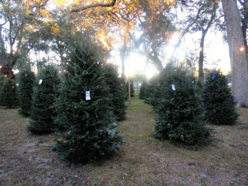 ... Places To Buy Christmas Trees Around Largo 0 ...