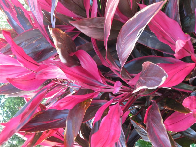 Tropical plants for indoors and outdoors wyckoff nj patch tropical plants for indoors and outdoors 0 mightylinksfo