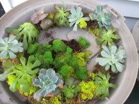 ... How To: Make A Living Succulent Wreath 7 ...