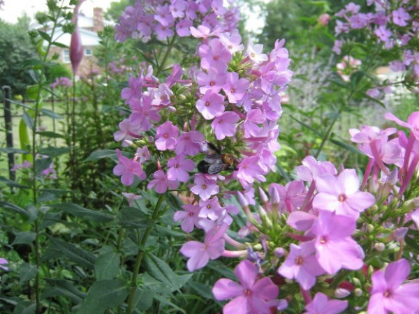 my top  perennials for the sun garden  town and country, mo patch, Natural flower