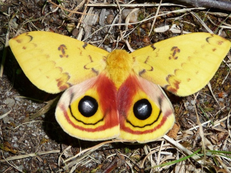Our Giant Silk Moths And Ancient Mythology East Brunswick Nj Patch