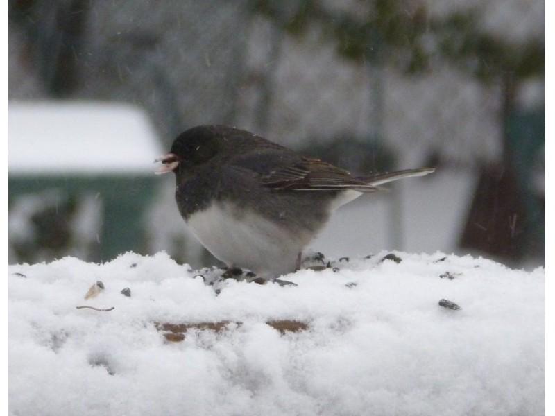 backyard feeder birds the junco our winter snowbird east