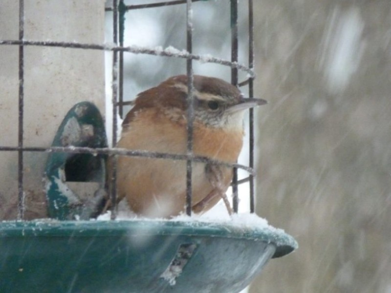 Backyard Bird Feeder Birds The Carolina Wren East Brunswick Nj Patch