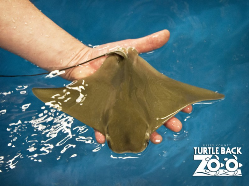 turtle back zoo wel es baby stingrays just in time for