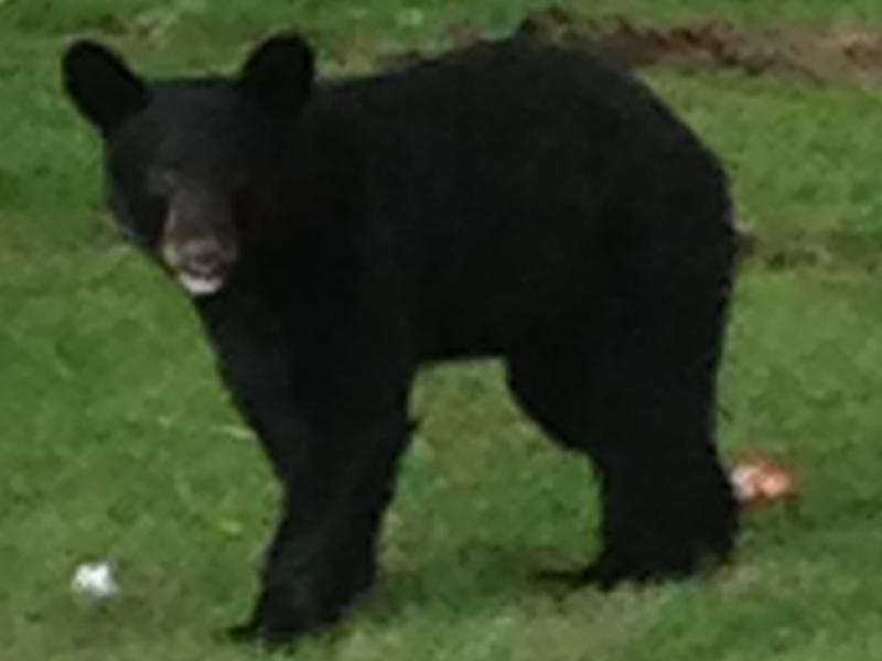 Bear Safety Tips From Parsippany Police | Parsippany, NJ Patch