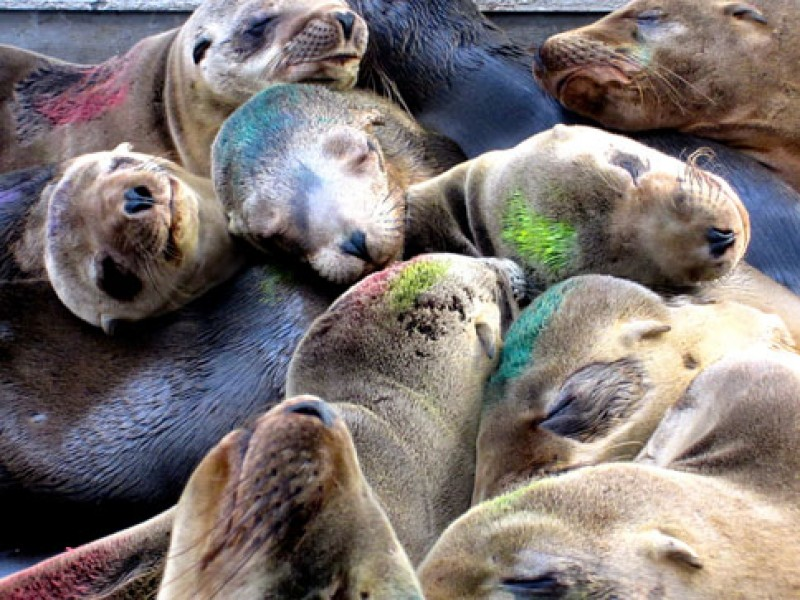 Sea Lion Population Swells To 170 At The Marine Mammal Center