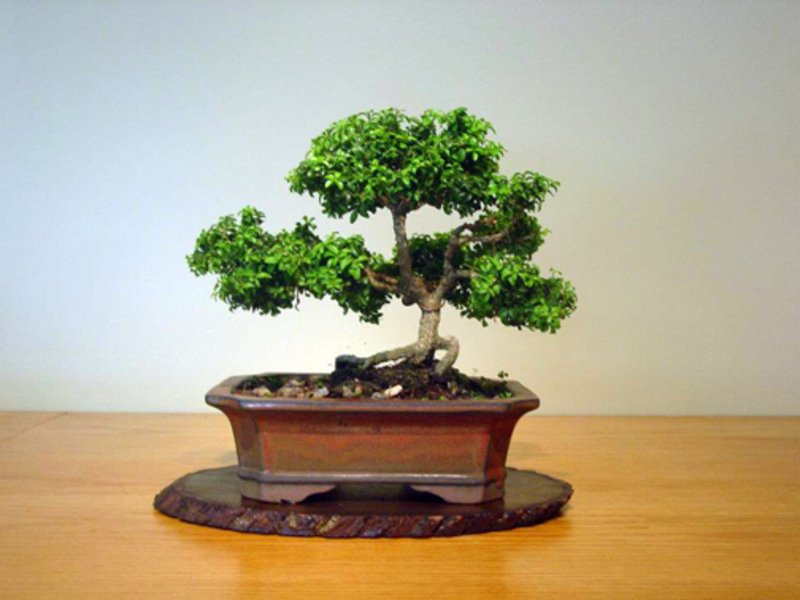 Bonsai Club At River Hill Garden Center   Columbia, MD Patch