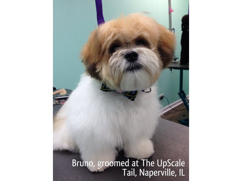 Bruno Groomed At The Upscale Tail Pet Grooming Salon Darien Il