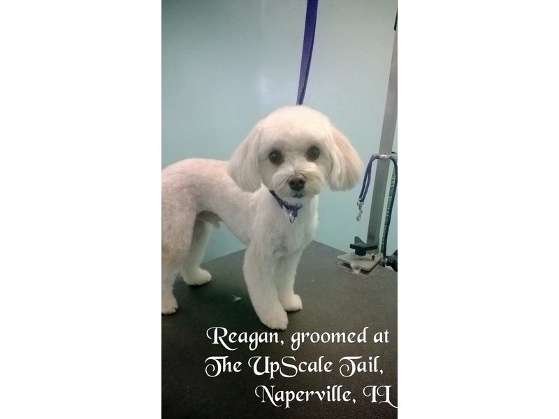 Maltipoo reagan groomed at the upscale tail pet for A family pet salon