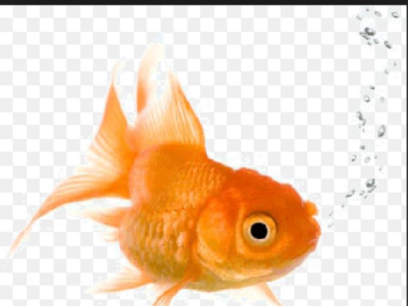 Lost Gold Fish