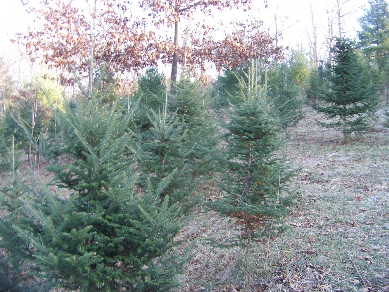 national christmas tree association is in chesterfields backyard chesterfield mo patch